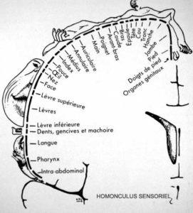 homonculus-sensoriel-NB